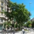 20m high London Plane Trees in Barcelona, their pollen commonly triggers hay fever symptoms
